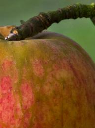 Pomme a cidre normandie